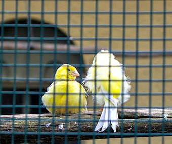 Caged Yellow Birds