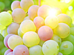 Sun shining through green wine grapes