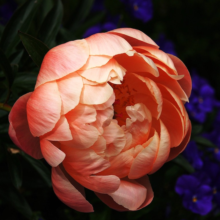 One close up, intimate apricot-coloured peony perfect as it is, as you are too